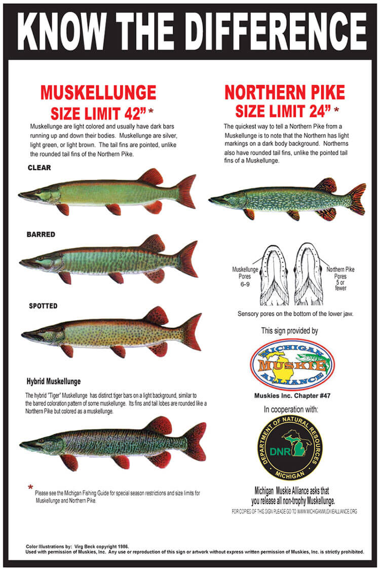 Muskies and pike are not the same! Know the Difference!