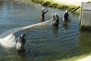 Fall fingerling harvest at Wolf Lake State Fish Hatchery