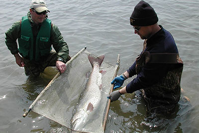 An Elk Chain muskellunge recovering after being implanted with an ultrasonic transmitter.
